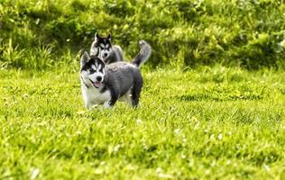 twee husky pup spelen in de weide
