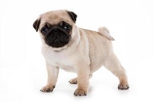 grappige pug puppy kijken naar de camera (geïsoleerd op wit)