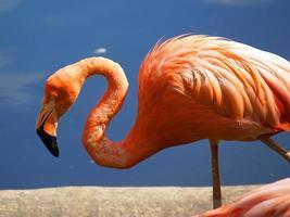 flamingo [2] foto