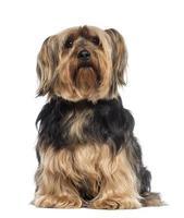 yorkshire terrier (6 jaar oud) foto