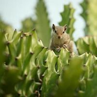 aardeekhoorn in cactus foto
