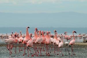 flamingo's op het meer Nakuru