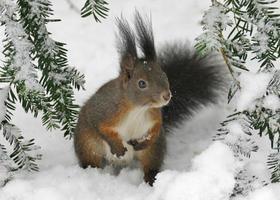squirell in de sneeuw foto