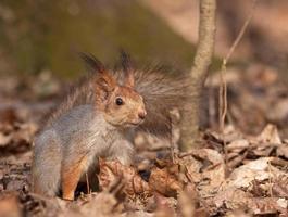 eekhoorn in het voorjaar forest foto