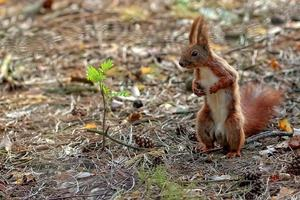 rode eekhoorn in het bos foto