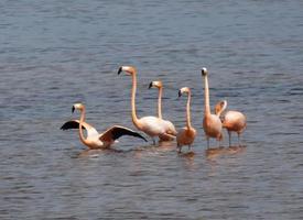 wilde flamingo's (phoenicopterus rubber) foto