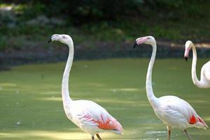 portret van een roze flamingo op een achtergrond van groene vegetatie
