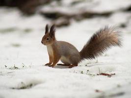 eekhoorn met borstelige staart zit op de grond foto