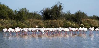 zwerm flamingo's foto