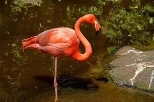 carribean flamingo foto