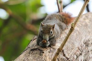 eekhoorn zittend op de boom foto