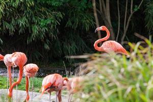 zwerm roze flamingo's foto