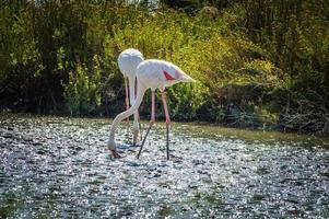 roze flamingo (phoenicopterus ruber) in camargue, frankrijk foto