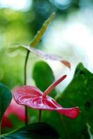 flamingobloem in de tuin, Thailand foto