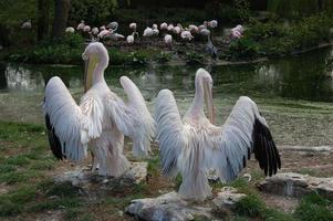 twee ruiende roze pelikanen.