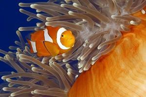 clown anemonefish foto
