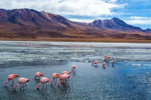 roze flamingo's in bolivia foto
