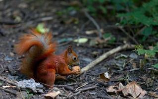 rode eekhoorn eet walnoot in herfst bos foto