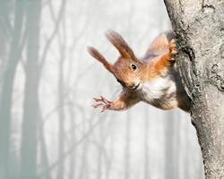 nieuwsgierige rode eekhoorn die op boom situeert foto