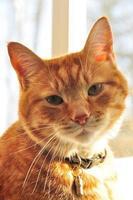 oranje kat kijkt door raam foto