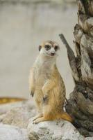 suricate of meerkat tegen foto