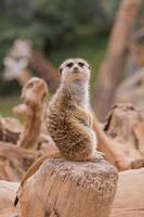 stokstaartje in de dierentuin foto