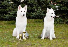 de ene witte herder won, de andere verloor. foto