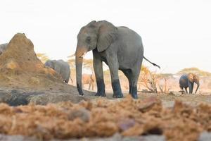 Afrikaanse olifant foto