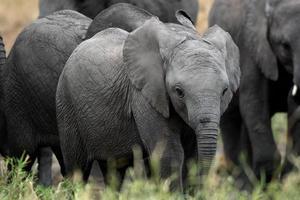 olifant huisdier foto