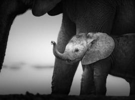 babyolifant naast koe (artistieke verwerking) foto
