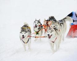 Siberische husky slee foto