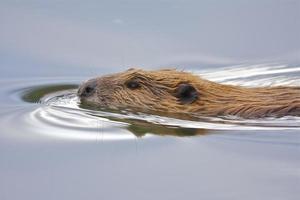 zwemmende bever foto