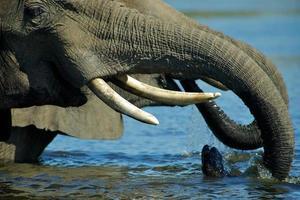olifanten drinkwater foto