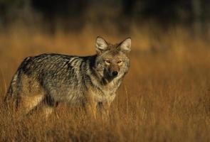een coyote in lang gras kijkt naar de camera