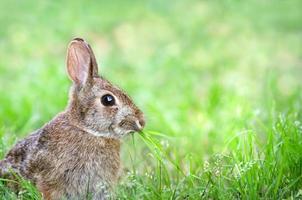 schattig katoenstaartkonijn konijn kauwend gras in de tuin