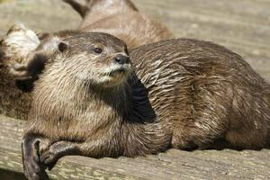 otter (lutra lutra) foto