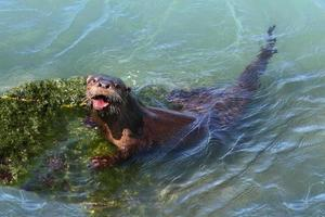 rivierotter (lontra canadensis) foto