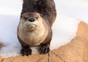 rivier Otter