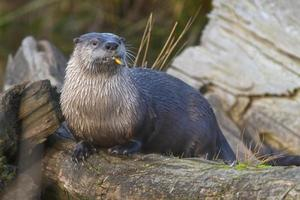 rivier Otter foto
