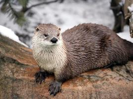 Canadese rivierotter foto