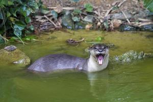 nieuwsgierige rivierotter foto