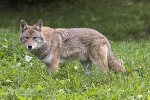 eenzame coyote in een herfstomgeving