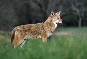 coyote in de baai