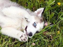 jonge puppy husky foto