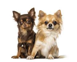 twee chihuahua's foto