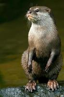 oosterse kleine klauwde otter foto