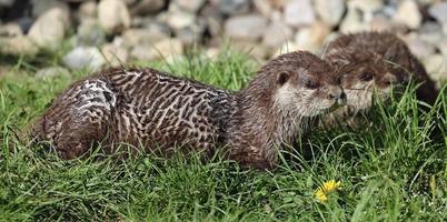 paar oosterse kleine-klauwde otter foto