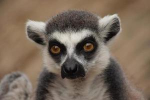 lemur foto