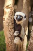 wilde baby coquerel sifaka, Madagaskar foto