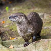 Europese otter in de natuur. foto